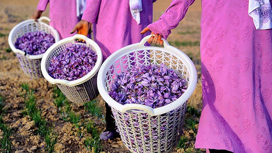 Шафран посевной выращивание 97